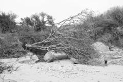 Tardinghen-gevallen-boom-monochroom
